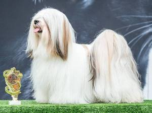 lhasa_apso1_Jupiters